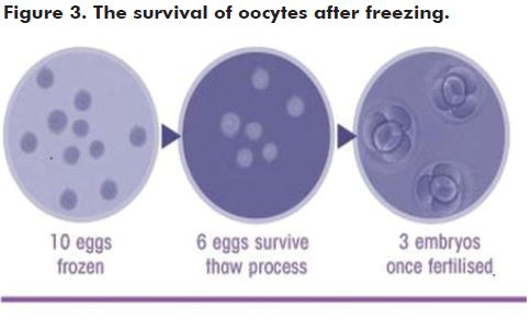 Figure 3. The survival of oocytes after freezing.